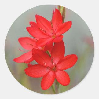 Kaffir Lily / River Lily / Hesperantha Coccinea Classic Round Sticker
