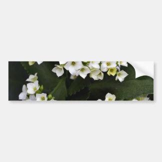 Kalanchoe Blossfeldiana Etiqueta De Parachoque