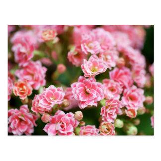 Kalanchoe doble en rosa postal