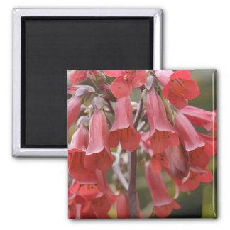 Kalanchoe Tubiflora Magnet