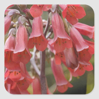 Kalanchoe Tubiflora Pegatina Cuadrada