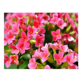 Kalanchoes rosado postal