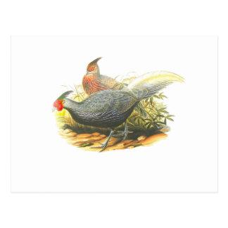 Kalij Pheasant Post Card