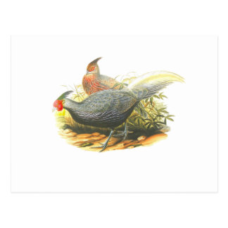 Kalij Pheasant Postcard