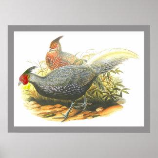 Kalij Pheasant Print