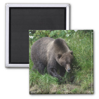 Kamchatka brown bear in natural habitat magnet