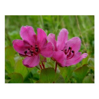 Kamchatka Rhododendron on Unalaska Island Postcard