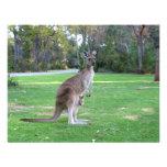 Kangaroo and Joey Announcements