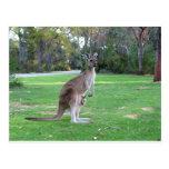 Kangaroo and Joey Post Card