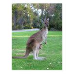 Kangaroo and Joey Postcard