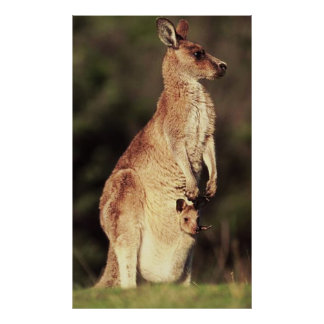 Kangaroo & Joey Poster