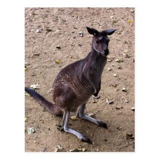 Kangaroo Looking at the Camera Postcard