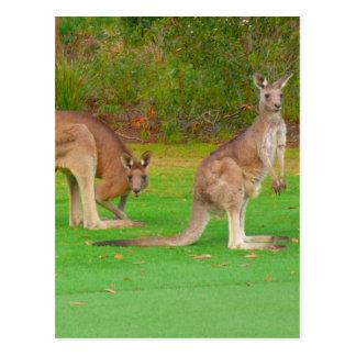 kangaroo looks postcard