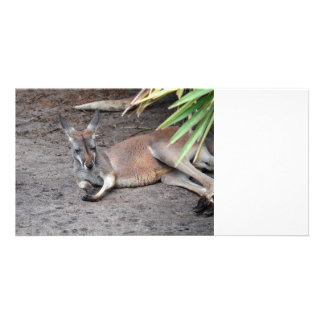 kangaroo lying down eyes closed animal photo card