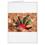 Kangaroo paw Australian flower in bloom Card