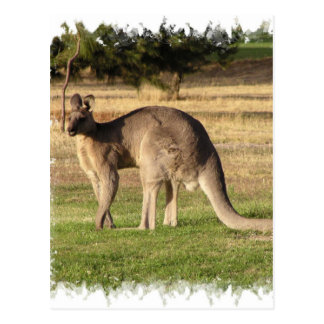 Kangaroo Picture Postcard