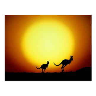 Kangaroos in the Australian Outback Postcard