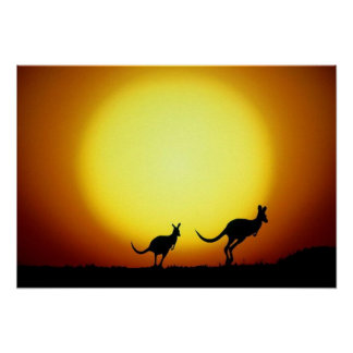 Kangaroos in the Australian Outback Poster