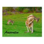 kangaroos post card