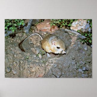 Kangeroo Rat Poster