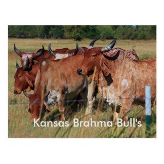 Kansas Brahma Bulls closeup POST CARD