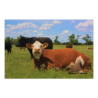 Kansas Country COWS Photo Enlargement