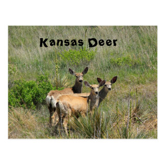 Kansas Deer Post Card