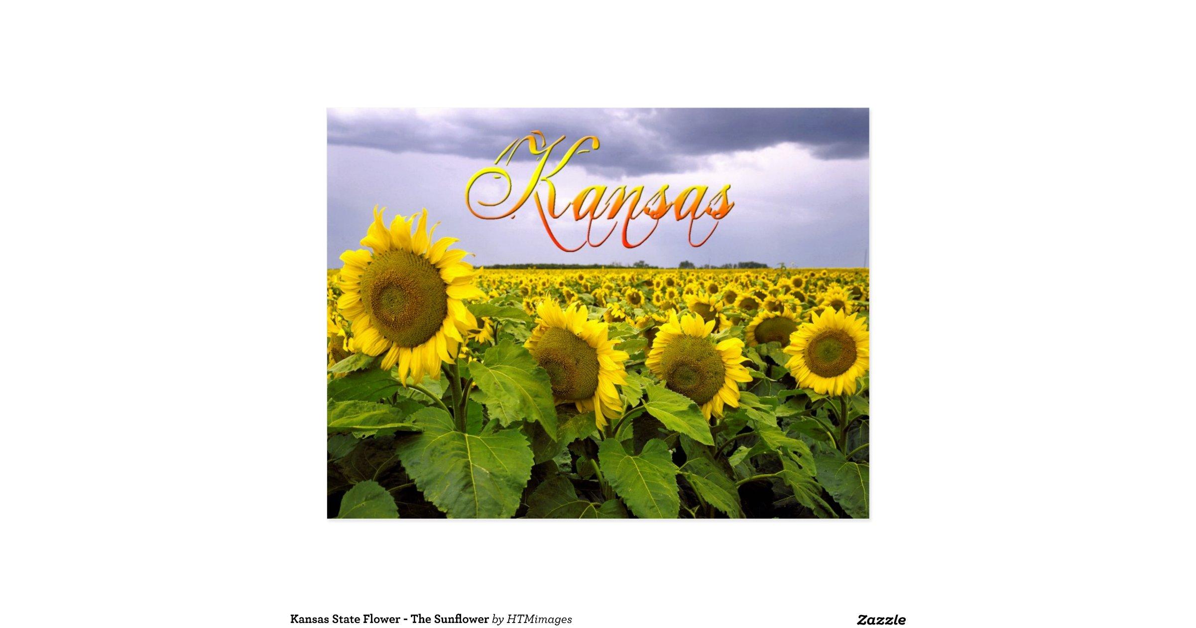 kansas state flower the sunflower postcard r177a4c7b615d48fca43e7c050d