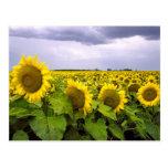 Kansas State Flower - The Sunflower Postcard