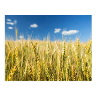 Kansas Wheat Postcard
