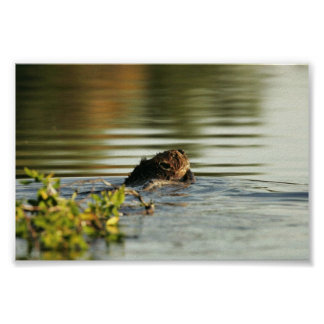 Kanuti Lake, beaver with willow branch Posters