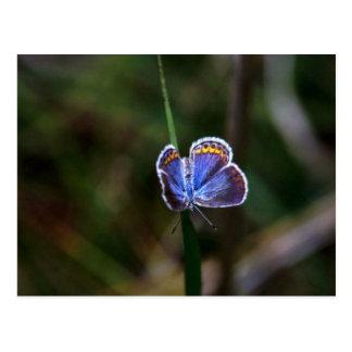 Karner Blue Butterfly Postcard