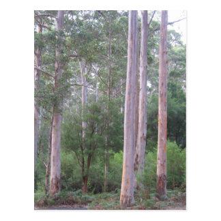 Karri forest postcard