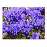 Katherine Hodgkin Irises Blue Purple Spring Floral Postcard