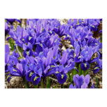 Katherine Hodgkin Irises Blue Purple Spring Floral Poster