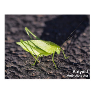 Katydid Postcard