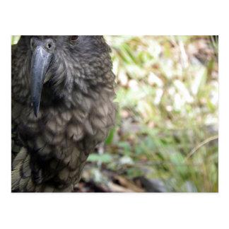 Kea: The Alpine Parrot Postcards