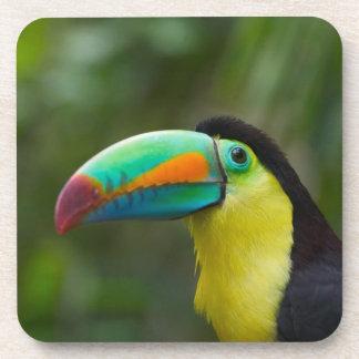 Keel-billed toucan on tree branch, Panama Drink Coaster