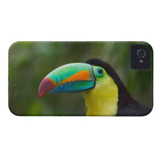 Keel-billed toucan on tree branch, Panama iPhone 4 Case