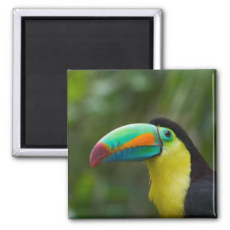 Keel-billed toucan on tree branch, Panama Magnet