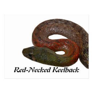 Keelback de cuello rojo postales
