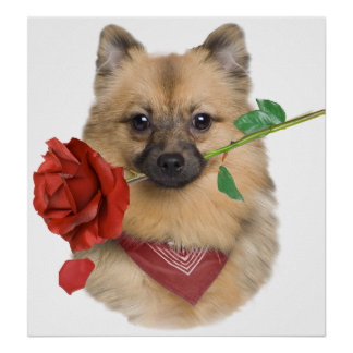 Keeshond A Single Rose  Poster
