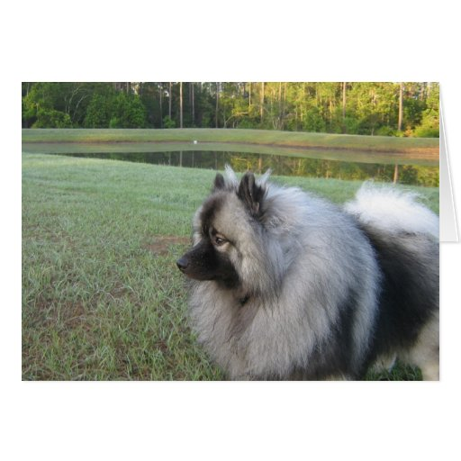 Keeshond at the Pond Cards