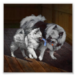 Keeshond Playtime Poster