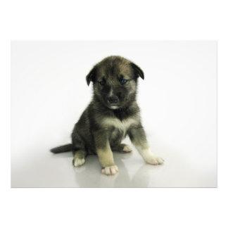 Keeshond Siberian Husky Crossbreed Puppy Photo Print