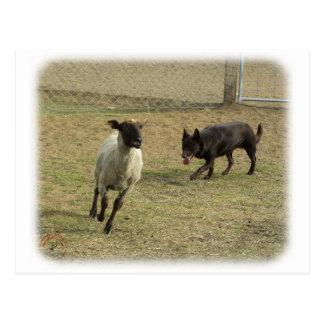 Kelpie australiano con las ovejas 9P21D-331 Postal