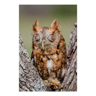 Kendall County, Texas. Eastern Screech-Owl 1 Poster