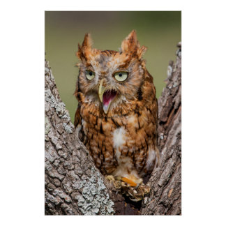 Kendall County, Texas. Eastern Screech-Owl 2 Poster