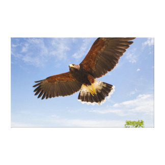 Kendall County, Texas. Harris's Hawk Canvas Print