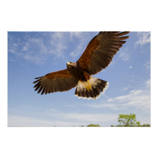 Kendall County, Texas. Harris's Hawk Poster